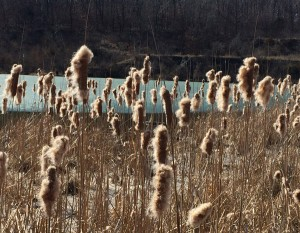 "03-23-15 ""cattail gathering"""