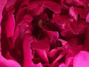 "05-26-15 ""pink peony"""