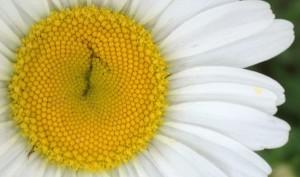 """05-31-15 """"daisy"""""""