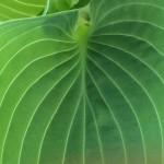 """07-07-15 """"hosta green"""""""