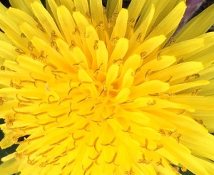 "07-13-15 ""dandelion yellow"""