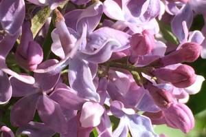 "07-14-15 ""lilac lilac"""