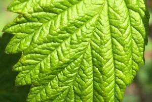 "07-16-15 ""raspberry leaf yellow-green"""