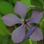 "07-19-15 ""wild phlox violet"""
