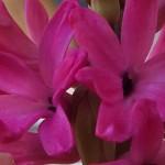 """07-20-15 """"hyacinth fuschia-pink"""""""