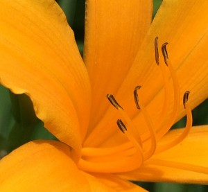 """07-01-15 """"daylily orange"""""""