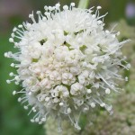 "07-24-15 ""cow parsnip white"""