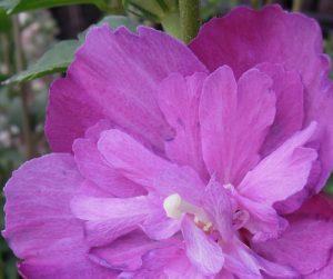 "08-11-17 ""unfurled rose"""